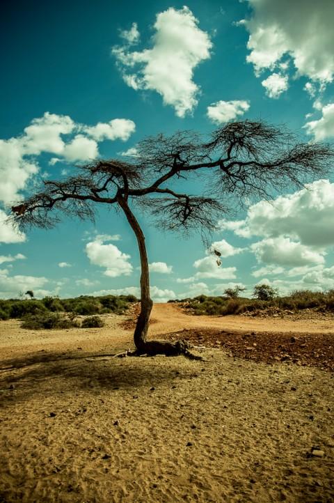 Acacia en la sabana de Etiopia, dia de calor