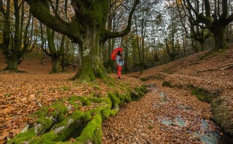 Bosque de Otzarreta, en Vizcaya, Pais Vasco. Conjunto de hayedos.