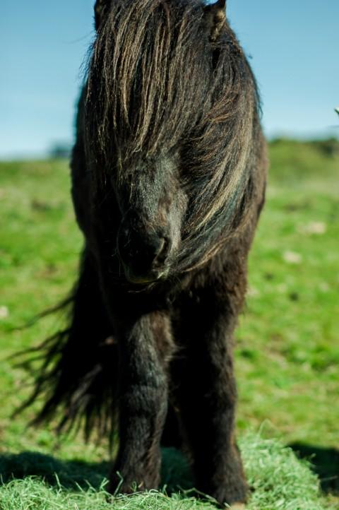 Cabalo Negro Islandés, Pelo largo