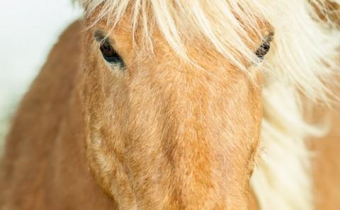 Cabalo Marrón Islandés, Pelo largo