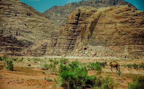 Camello paseando por el desierto del wadi rum en jordania
