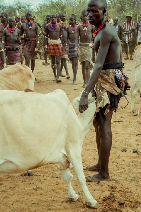 Hombre sujeta toro , tribu Hammer, ceremonia Bull Jumping en Etiopía