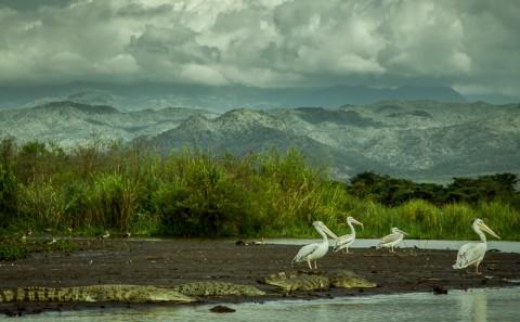 Pelícanos y cocodrilos en lago de Bahir dar, Etiopía