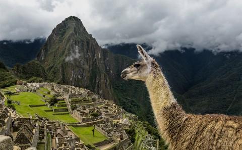 Llama con el Macchu Pichu de fondo, Perú