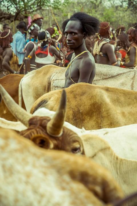 Hombre desnudo salta toros , tribu Hammer, ceremonia Bull Jumping en Etiopía