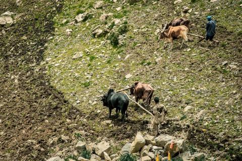 Hombres arando con ganado las tierras, Etiopía